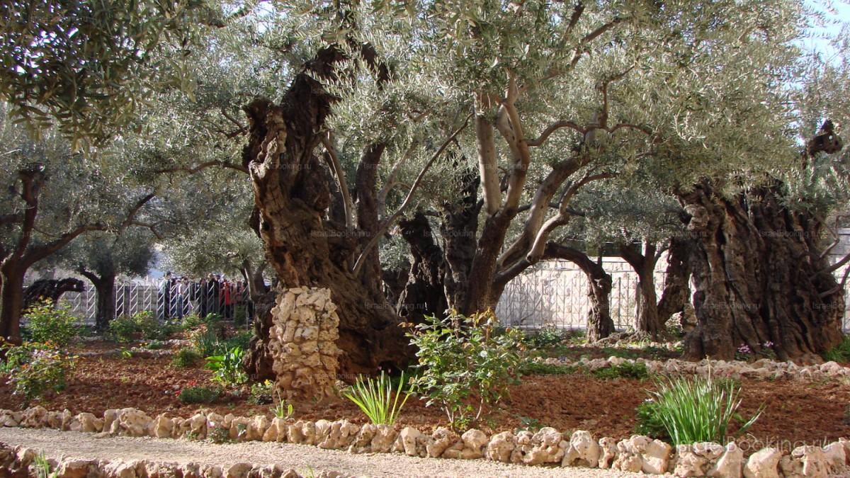 The garden of Gethsemane RUBIN TOURISM